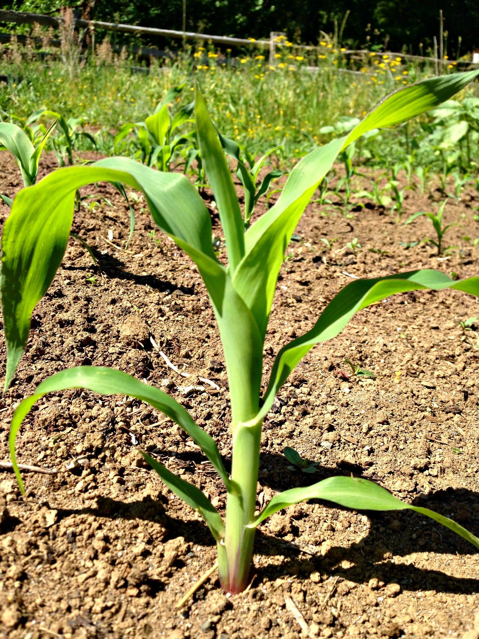 baby corn plant