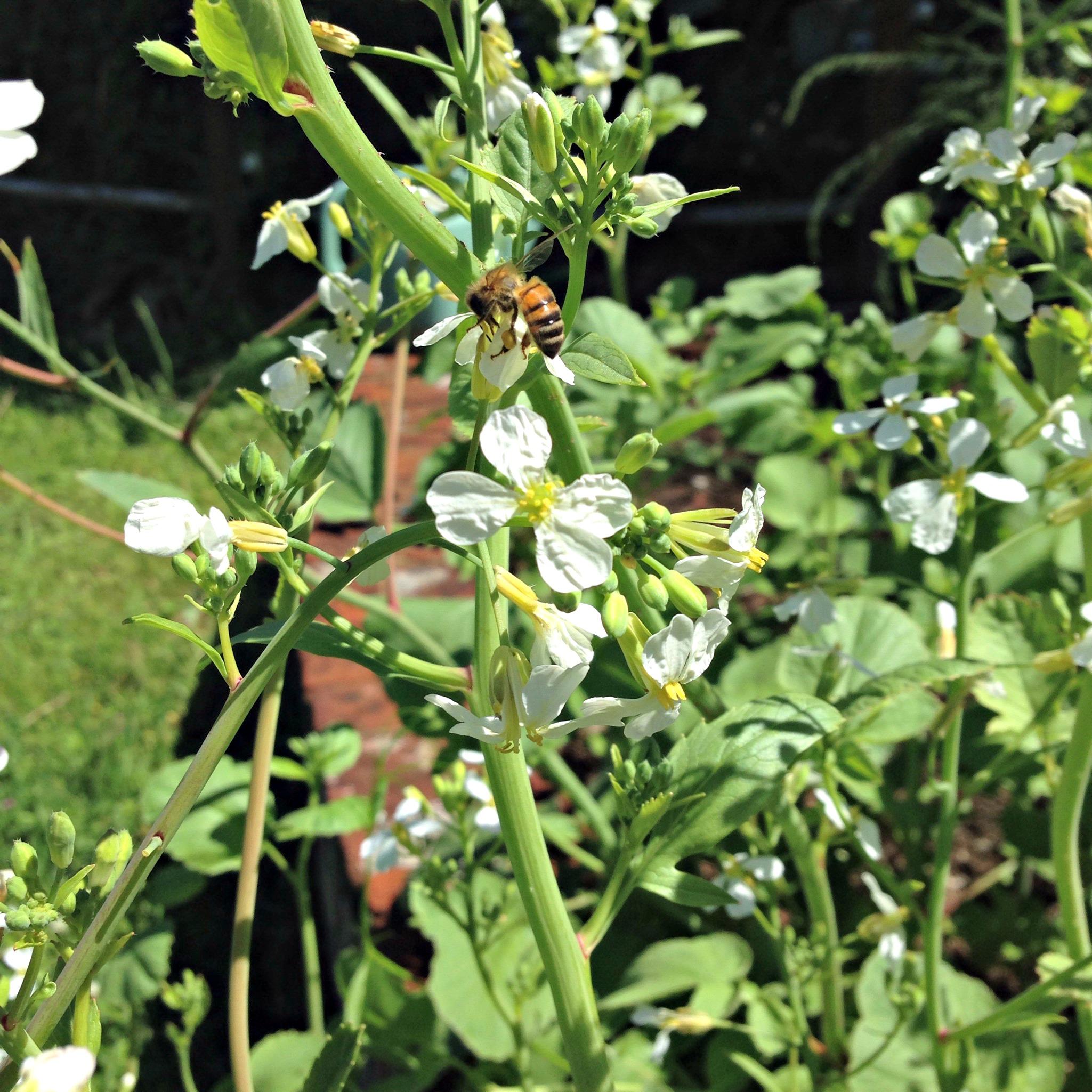 bee on radish flowers