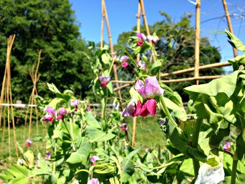 pea plant 1
