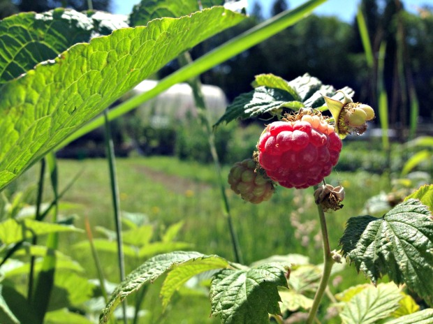 raspberry 2