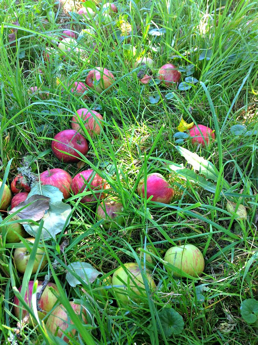 first windfall apples