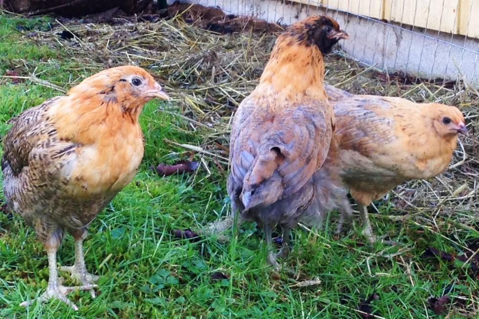 0223-chicks