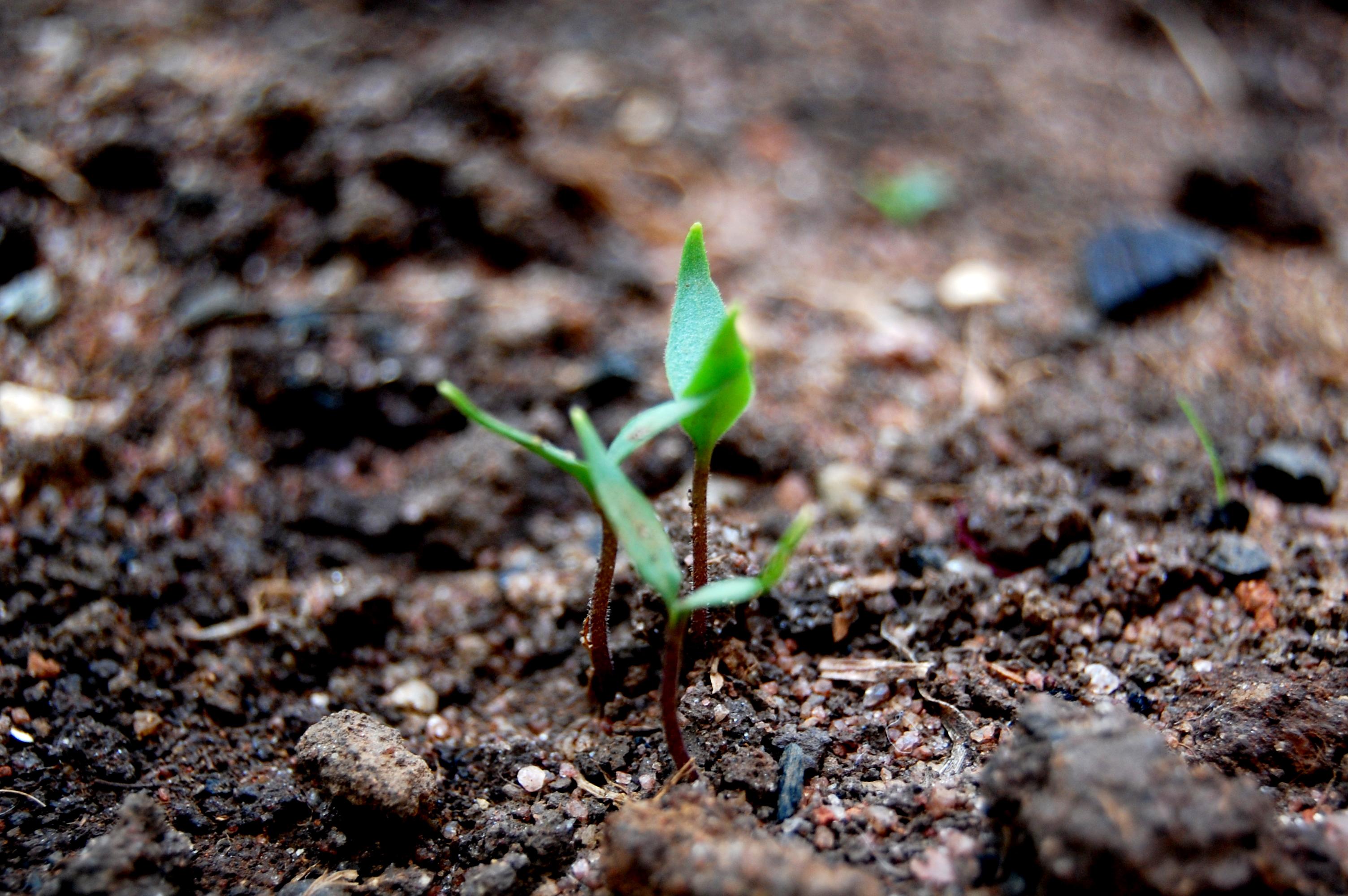 seedling-1345250
