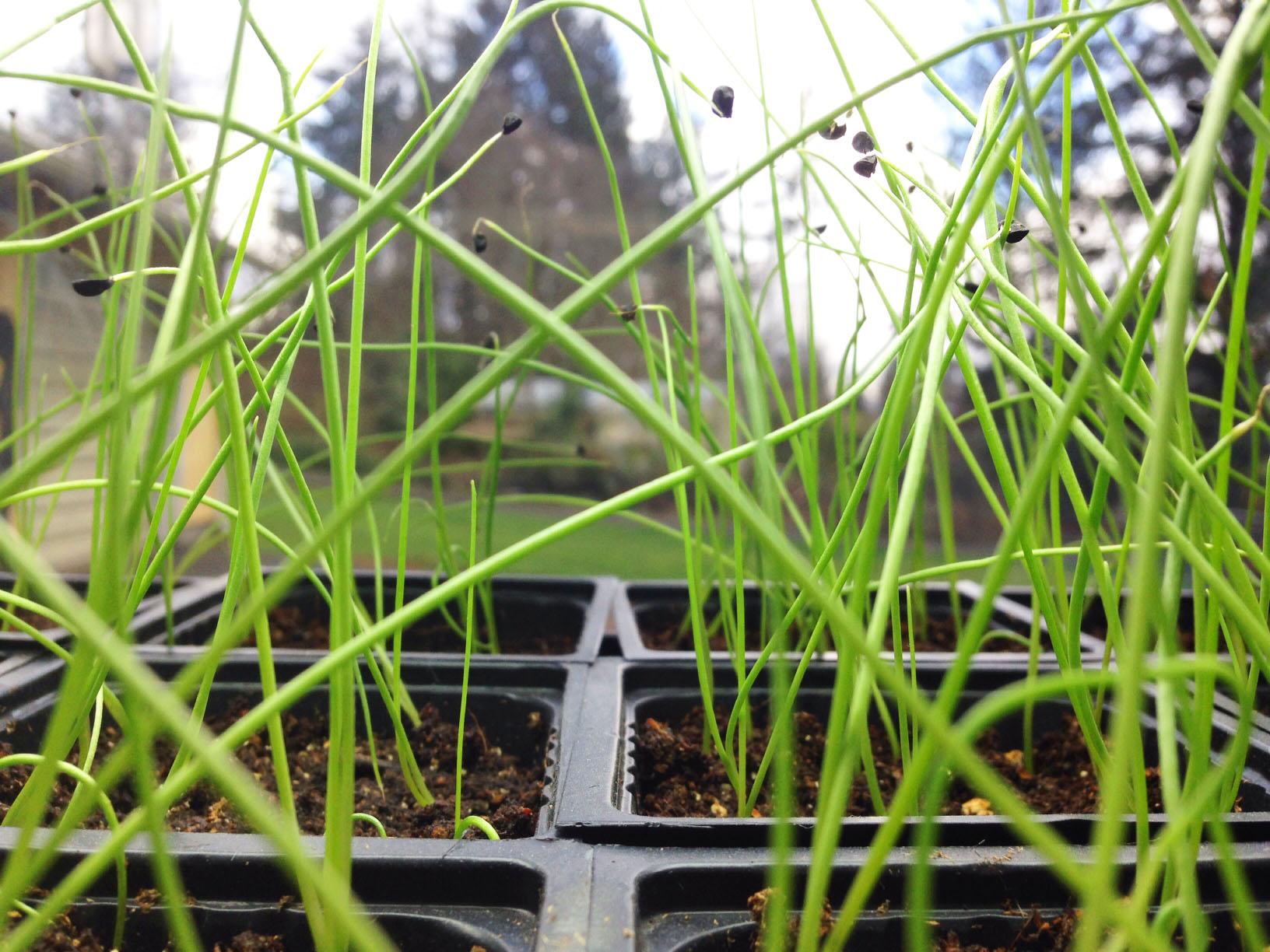 0302 onion seedlings.jpg