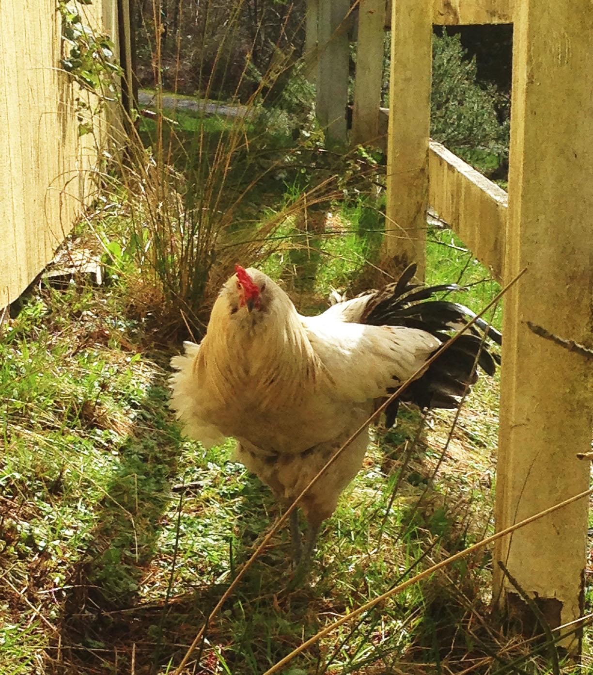 0324 rooster3.jpg