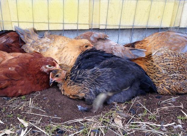 0328 chicks 2.jpg