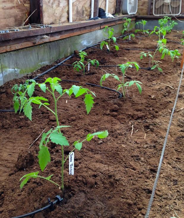0418 tomatoes.jpg