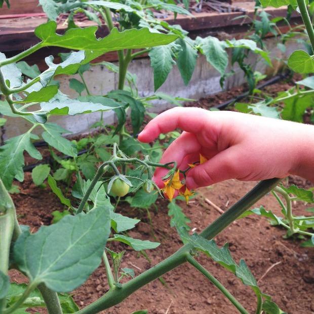 0524 tomatoes