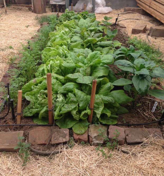 0528 lettuce bed.jpg