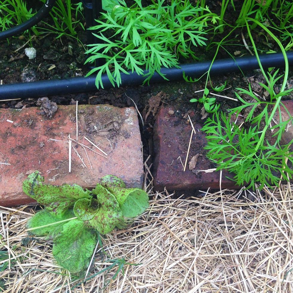 0531 lettuce.jpg