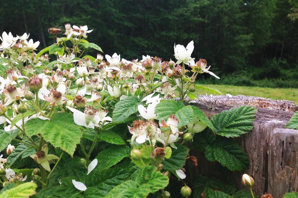 0531 marionberries