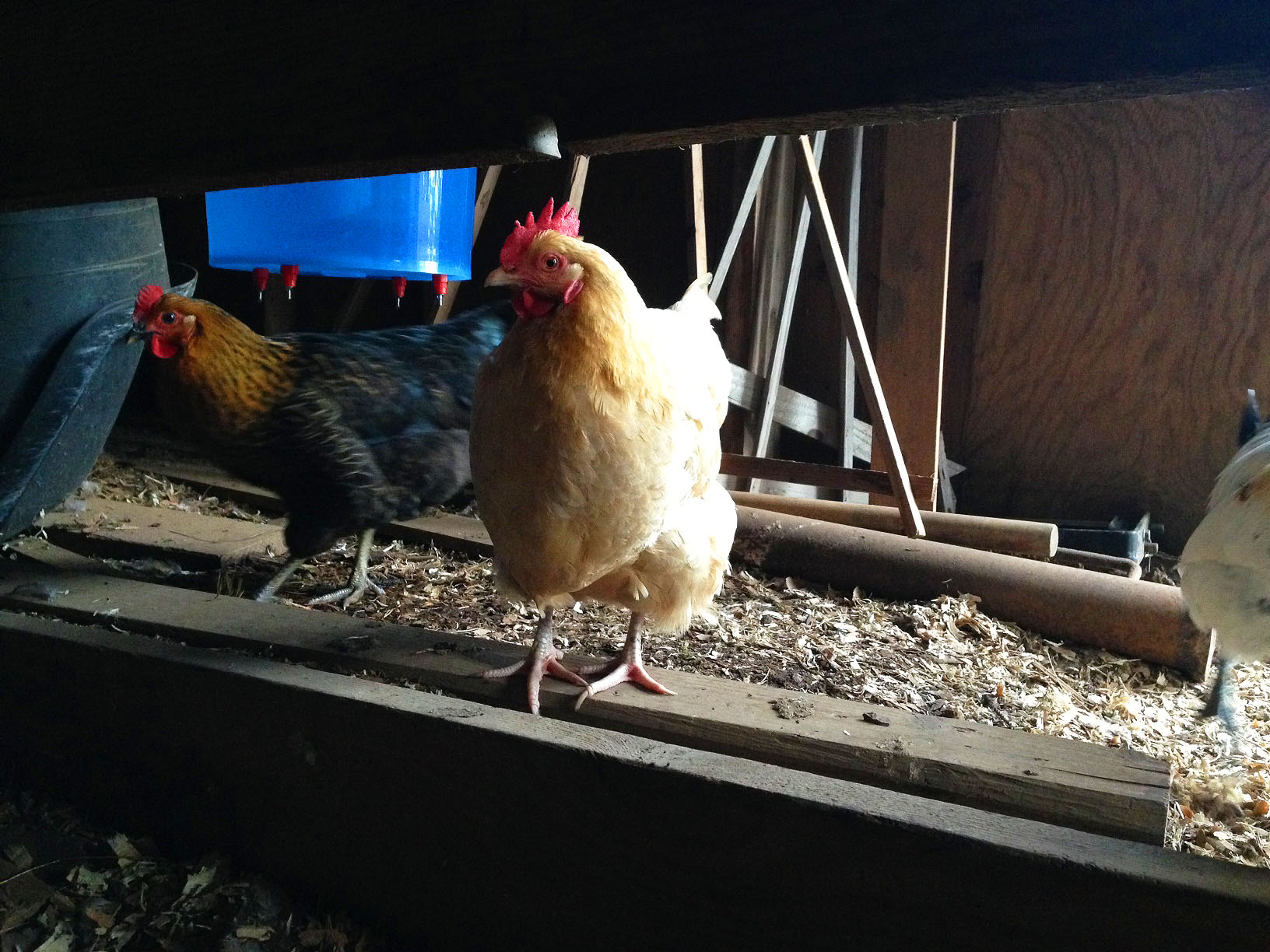 0611 chicken2