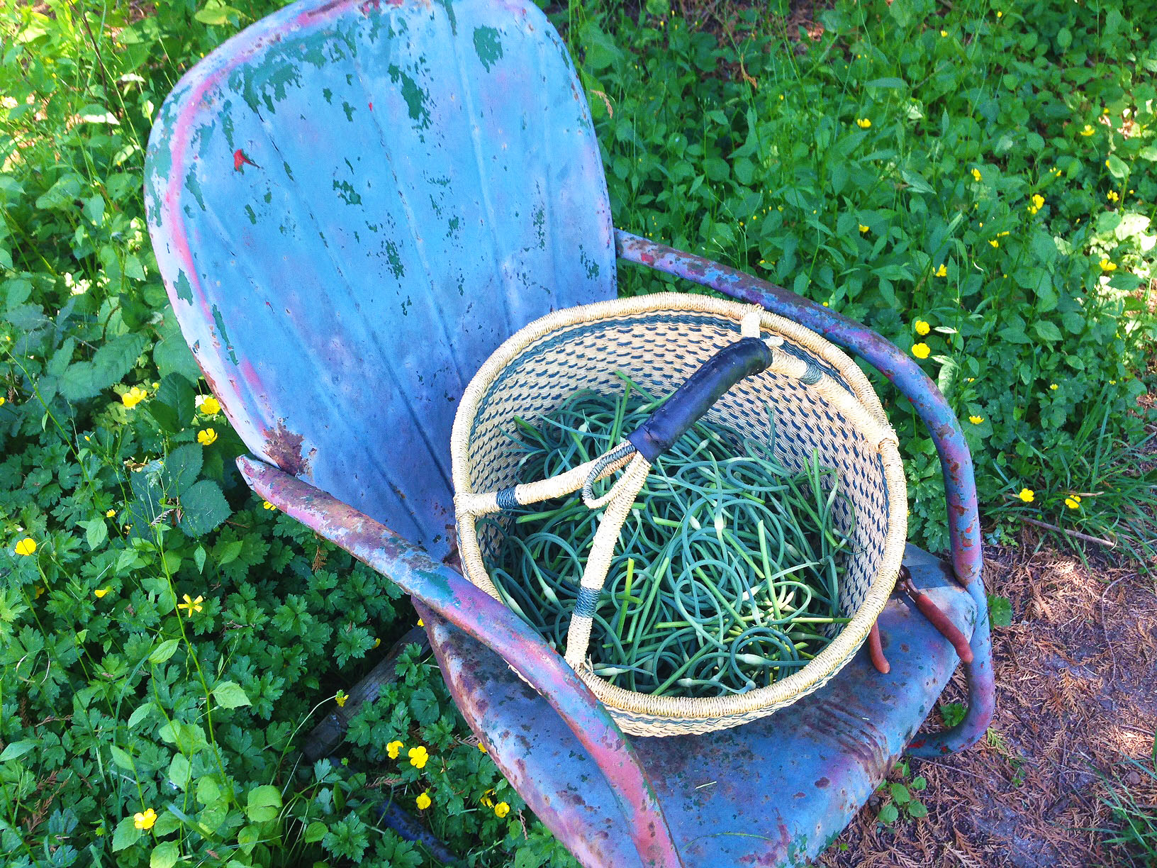 garlic scapes 1 - Freezing Garlic