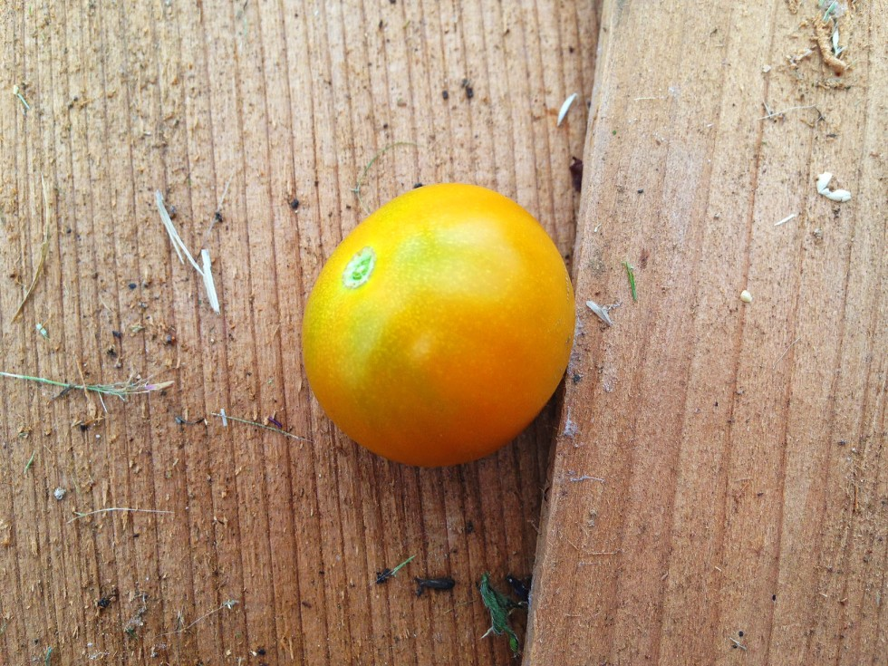 0629 tomato.jpg
