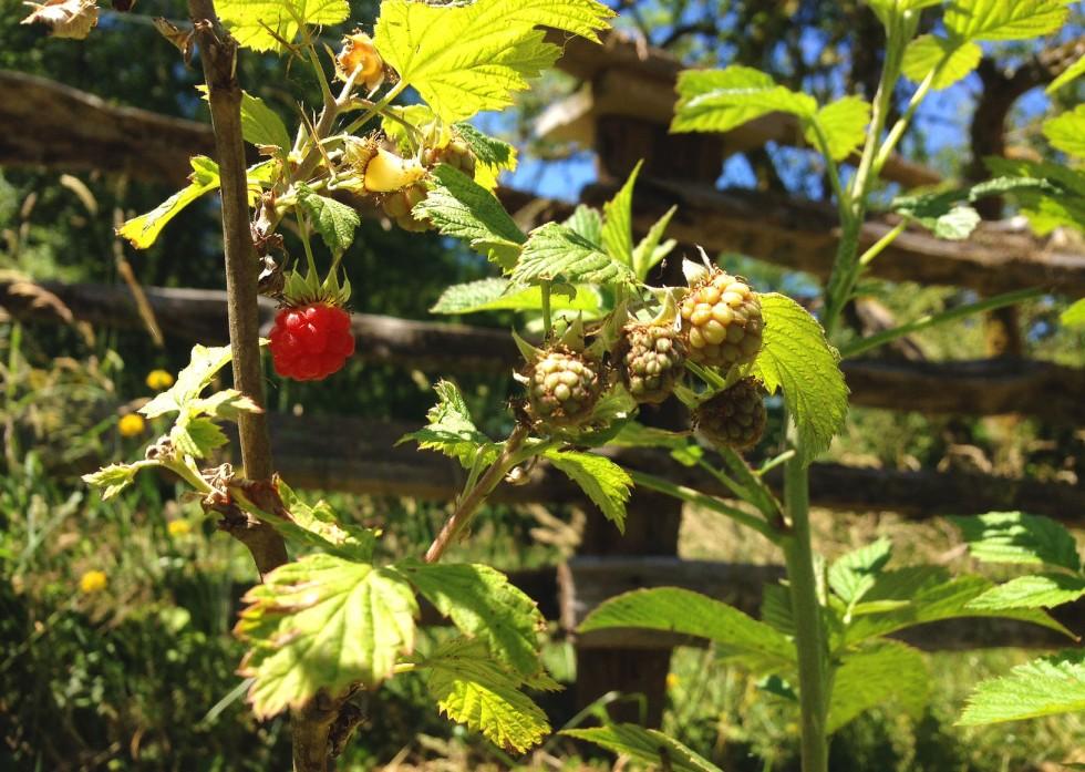 0702 raspberries