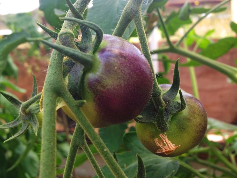 0702 tomatoes2