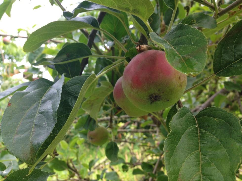 0714 apples