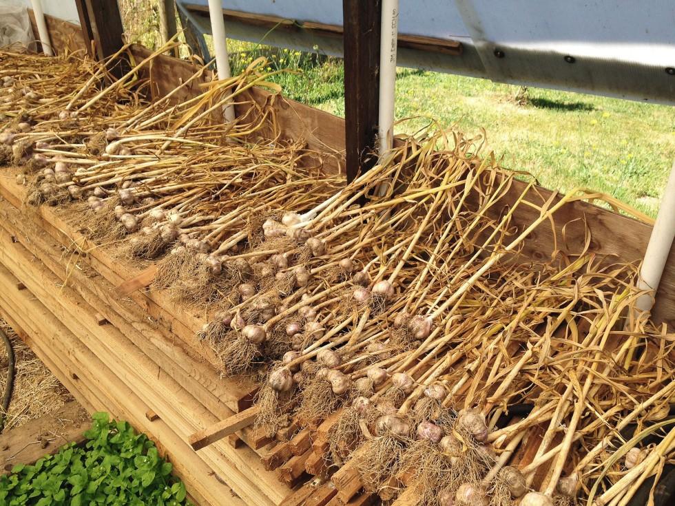 0725 garlic 4.jpg