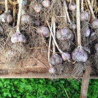 Harvesting the Garlic