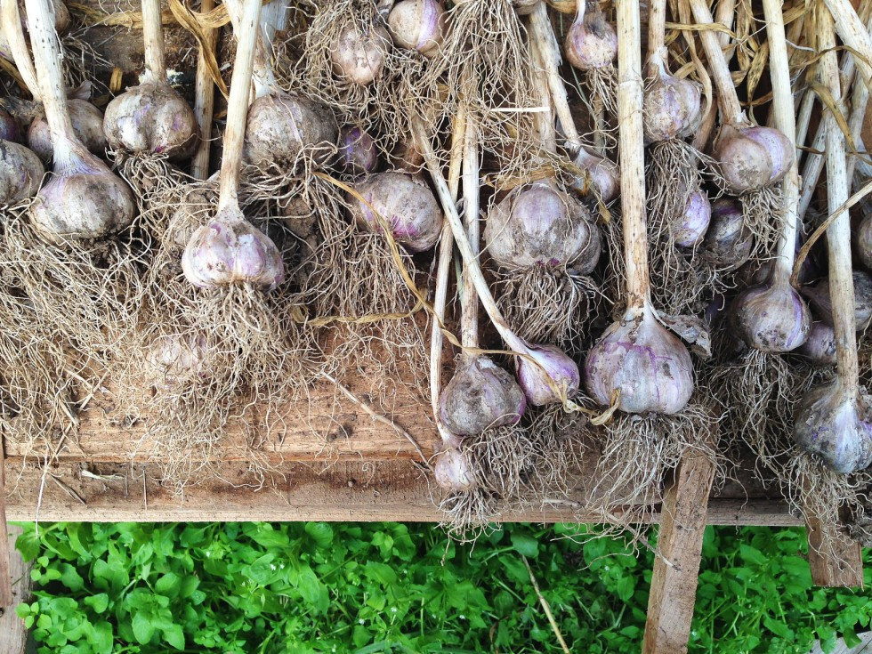 0725 garlic.jpg