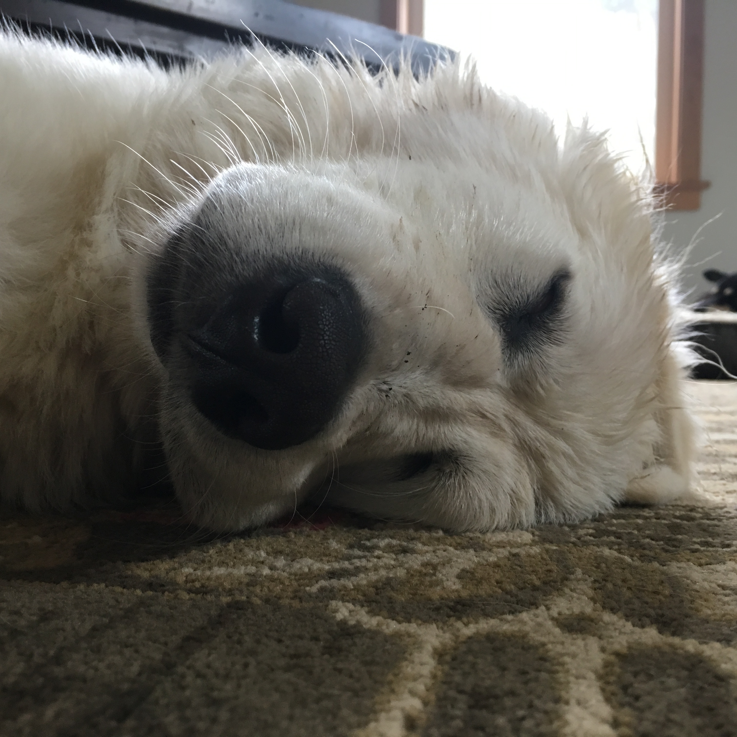 Livestock Guardian Dog - Rowan takes a nap
