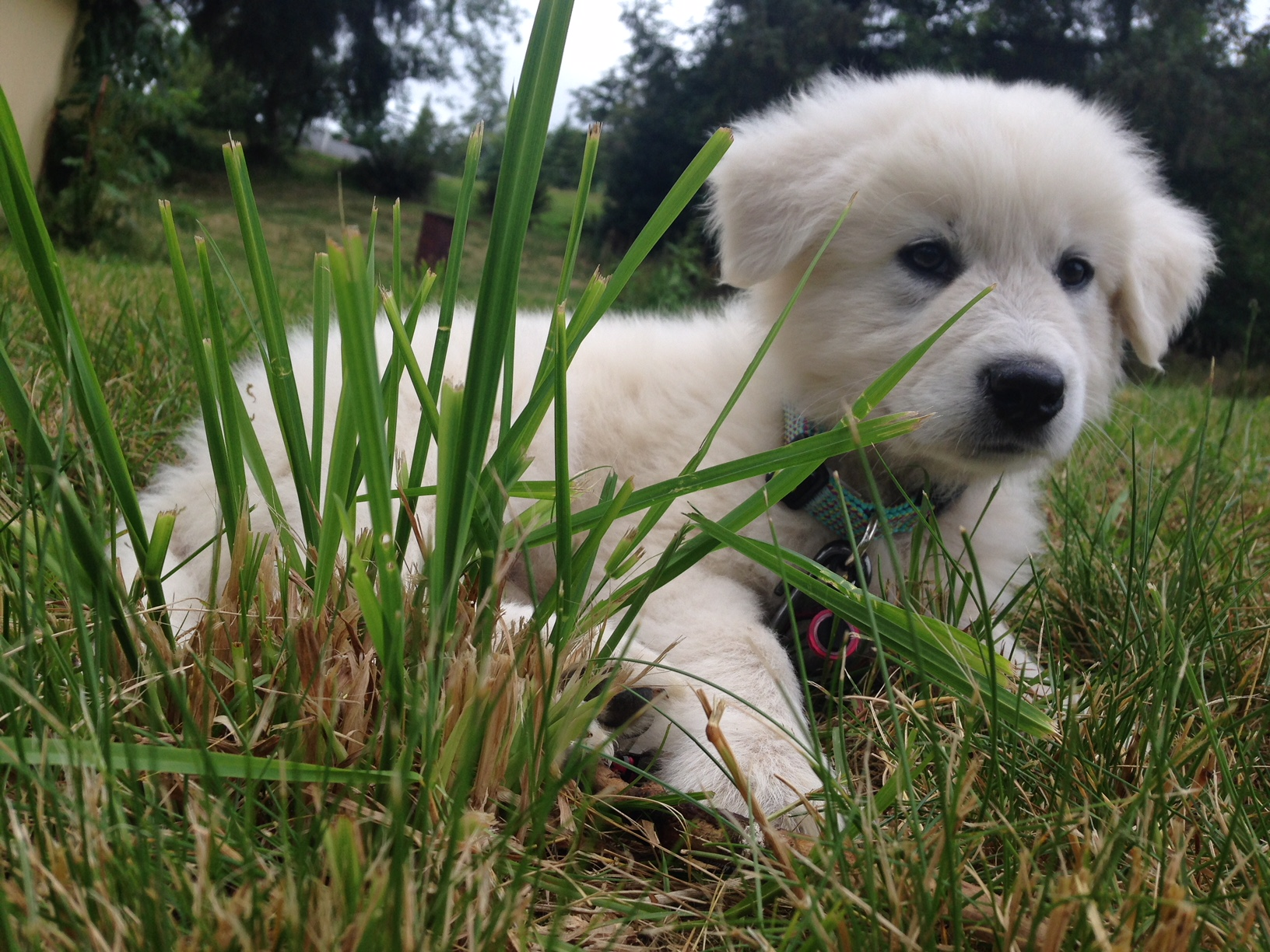 Livestock Guardian Dog - Baby Rowan