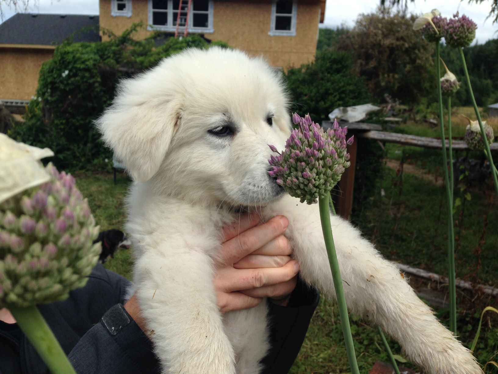 Livestock Guardian Dog - Rowan smelling the flowers